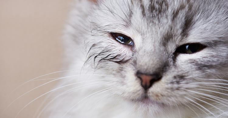 Los gatos pueden presentar alergias a alimentos y productos (iStock).