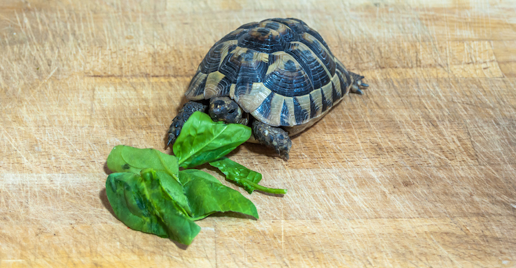 Las tortugas no pueden comer cualquier cosa, ¡aunque sea verde! (iStock).